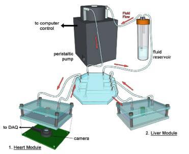 three-tissue organ-on-a-chip platform 1