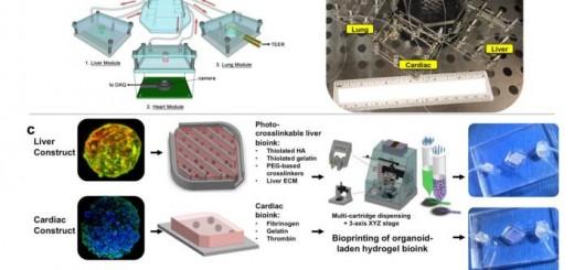 three-tissue organ-on-a-chip platform 3